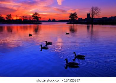 Duck in River