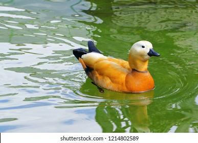 duck ruddy Shelduck in the pond