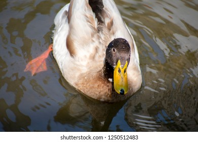 Duck In search of food in water