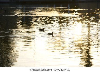 A Duck  Silhouetted with  sunset