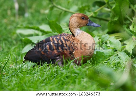 duck sits in grass