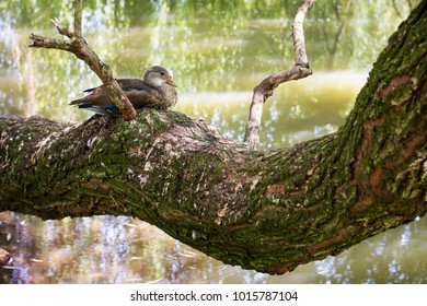 Duck sitting on a tree branch above a pond, lake or river in a green nature.