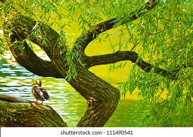 Duck sitting on twirled tree