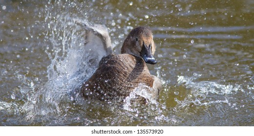 Duck splashing about in the water