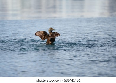 Duck spreading its wings in cold waters of ice lagoon, Jokulsarlon, Iceland on a sunny morning