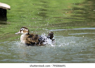 A duck sprinkling water while swimming