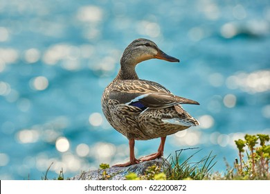 Duck stand next to a pond or lake with bokeh background