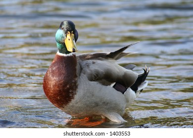 Duck Standing on a Stone in the River