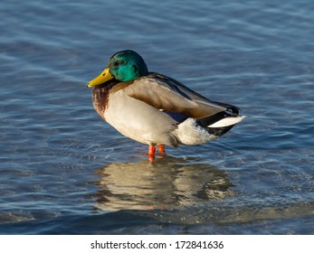 Duck standing in shallow water