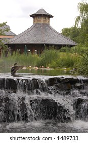 A duck stretches its wings at a garden pond in front of lotus blossoms and above a waterfall