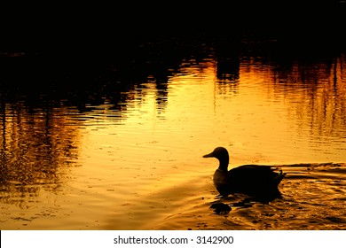 Duck at sunset on village pond. Water reflecting church and trees.