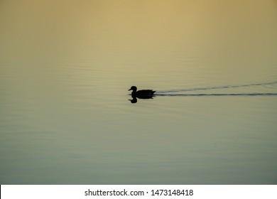 Duck swimming across a very calm Lake Illawarra at sunset, NSW, Australia