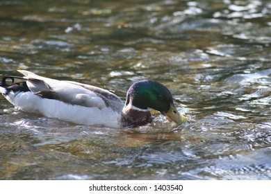 Duck swimming along, taking a drink from the river