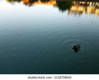 Duck swimming in the canal with beautiful street reflection and ripples on the water surface. Waterbird in natural environment.