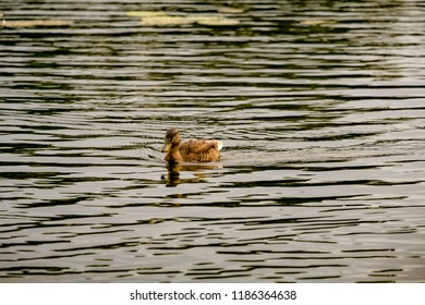 Duck swimming down the river