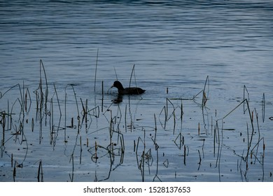 Duck is swimming at Laacher lake, Germany