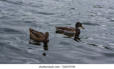Duck swimming in lake.