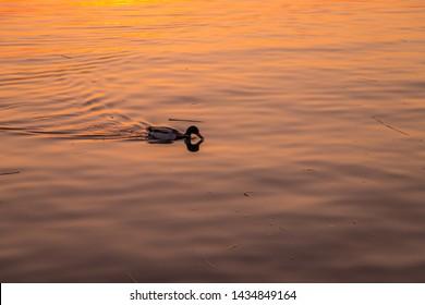 Duck swimming in the lake of Lugano, Switzerland at sunset.