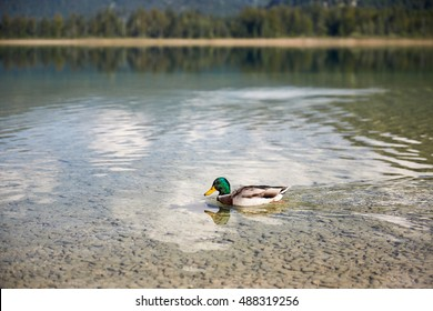 Duck swimming in lake Offensee in Salzkammergut Austria