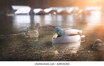 Duck swimming in the morning light.