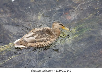 A duck swimming on the Garavogue river in Sligo town
