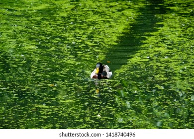 A duck is swimming in the pond of the public park, Abbey Saarn, Germany