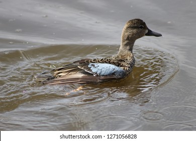 A duck swimming in a puddle