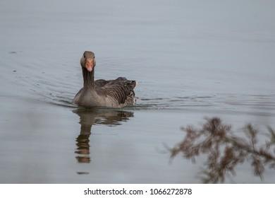 Duck swimming in the summer at Rutland Water - Rutland Water Summer 2017