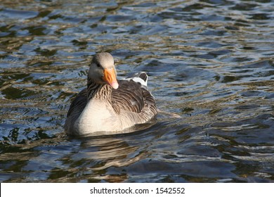 Duck swimming in the water
