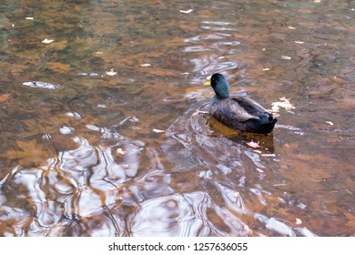 A duck swims across a small pond in Southern Oregon.