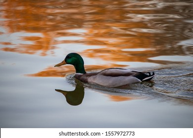 The duck swims at sunset and leaves a reflection and waves on the water