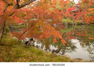 a duck under red maple tree with a zen pond and beautiful water reflection