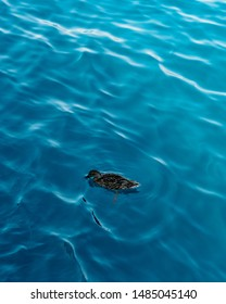 A duck wading through the blue ocean of the Mediterranean sea off the coast of turkey