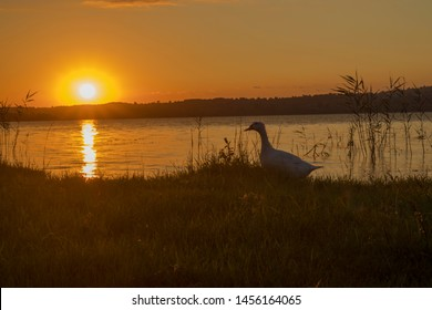 A duck walking against to sunset