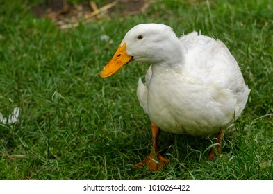 A duck walks around on the grass