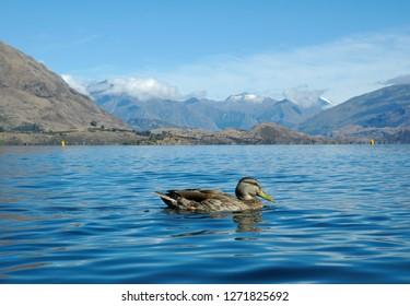 A duck in Wanaka lake