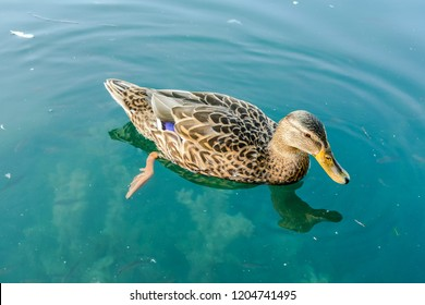 duck in water, digital photo picture as a background