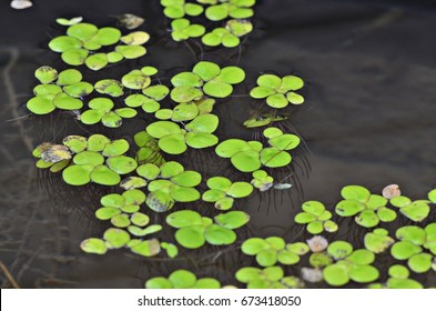 duck weed,floating on water,small aquatic plant