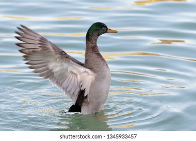 Duck with wings back in a pond with golden and green waves