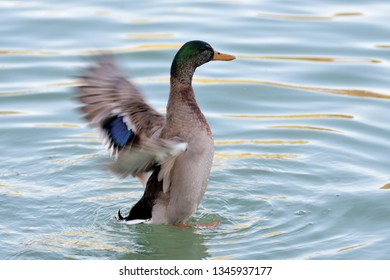 Duck with wings outstretched in a pond of turquoise waters