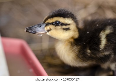 duckling drinking water
