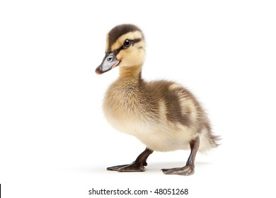 duckling isolated on white background - baby mallard (Anas platyrhynchos) closeup