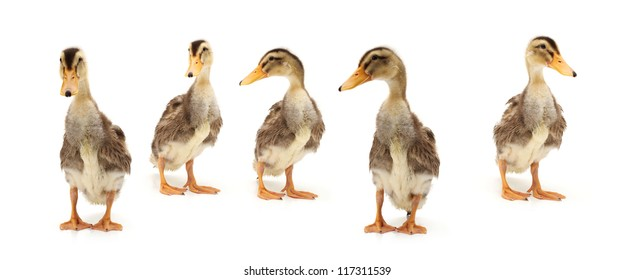 Duckling on white background