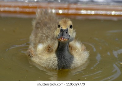 duckling swimming - landscape