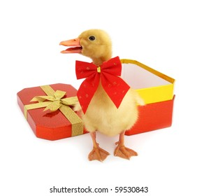 Duckling young baby duck as gift pet