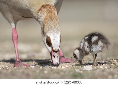 Ducklings Egyptian geese (Alopochen aegyptiacus)