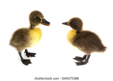 Ducklings isolated, close up of young animal on white background