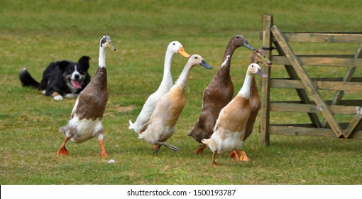 Ducks being herded by a Border Collie Dog.