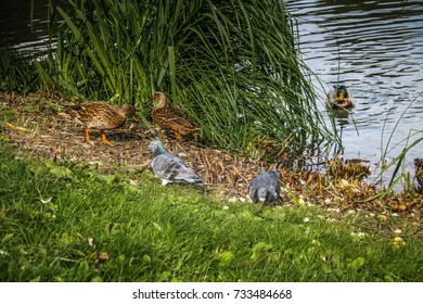 ducks and birds around the pond in a