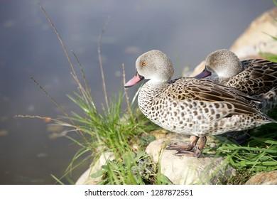 Ducks, Cape Teal